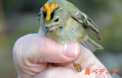 キクイタダキ 幼鳥