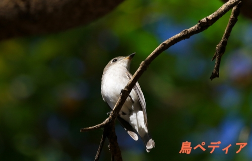 コサメビタキ 幼鳥 特徴