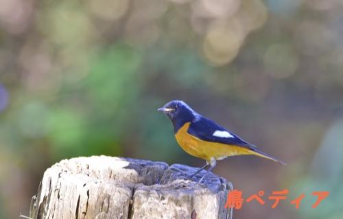 ジョウビタキ 渡り鳥