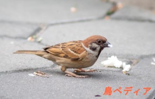 スズメ 成鳥 飼育
