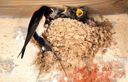 ツバメ 巣作り 時期