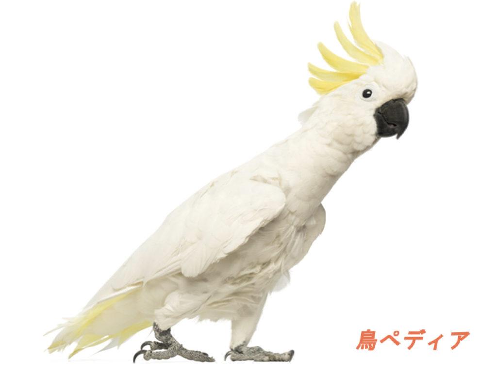コバタン 鳥