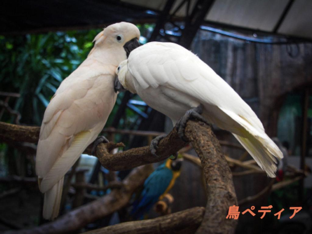 タイハクオウム どんな鳥