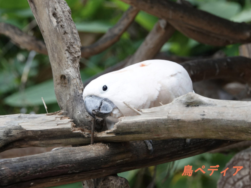 タイハクオウム 飼い方