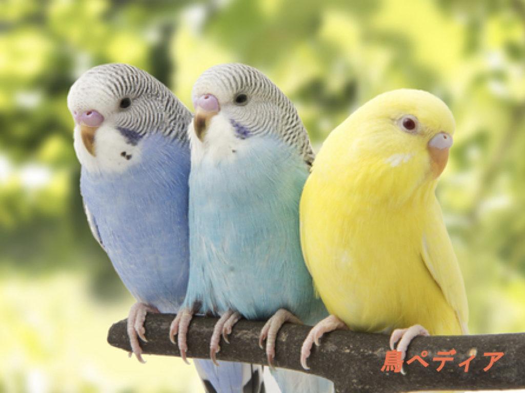 セキセイインコ 鳥