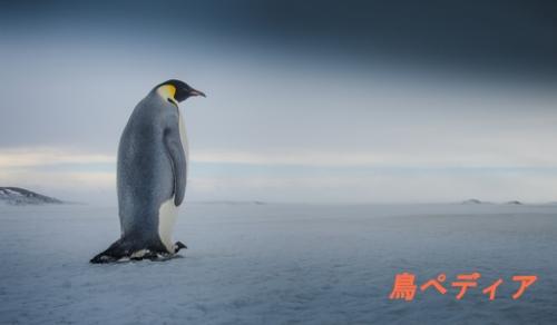 ペンギン鳥