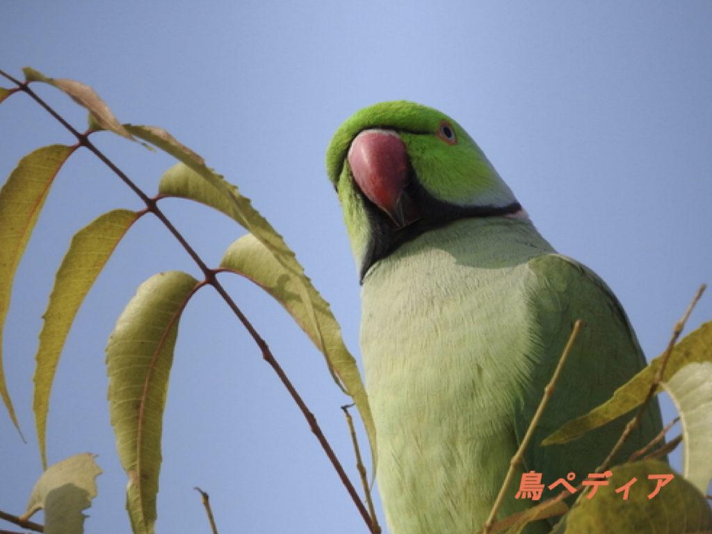 ワカケホンセイインコ 鳥